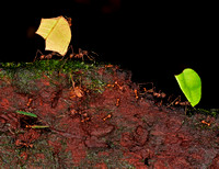 Leaf Cutter Ants Amazon