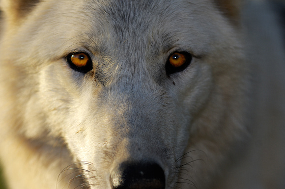 Artic Wolf Closeup
