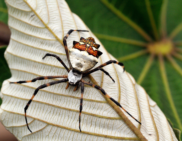Spider in the Peruvian Amazon