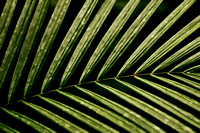 Palm Fronds Amazon