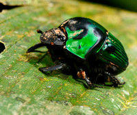 Green Bug in Peruvian Amazon